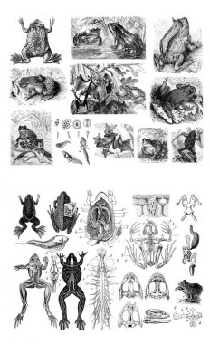 Illustration of frogs on a white background.