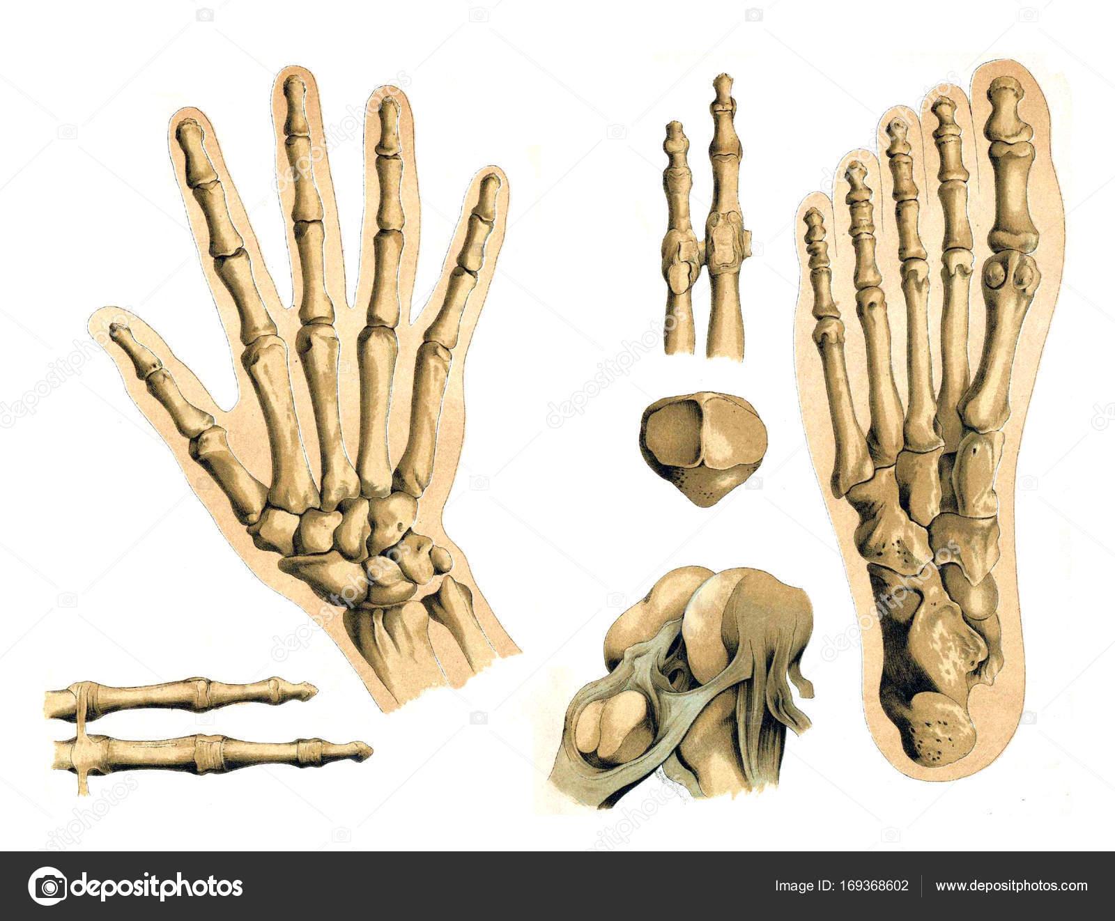 Knochen der Hand und des Fußes des Mannes — Stockfoto © ruskpp ...