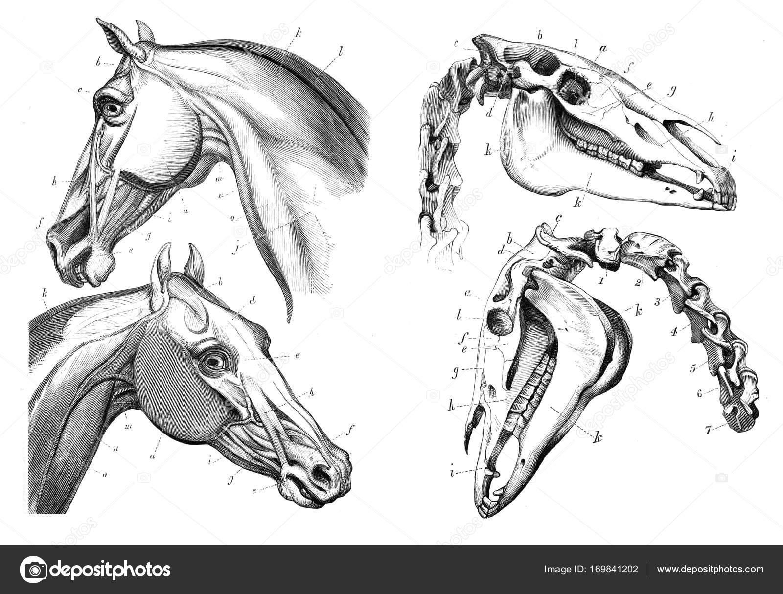 La anatomía del caballo — Fotos de Stock © ruskpp #169841202