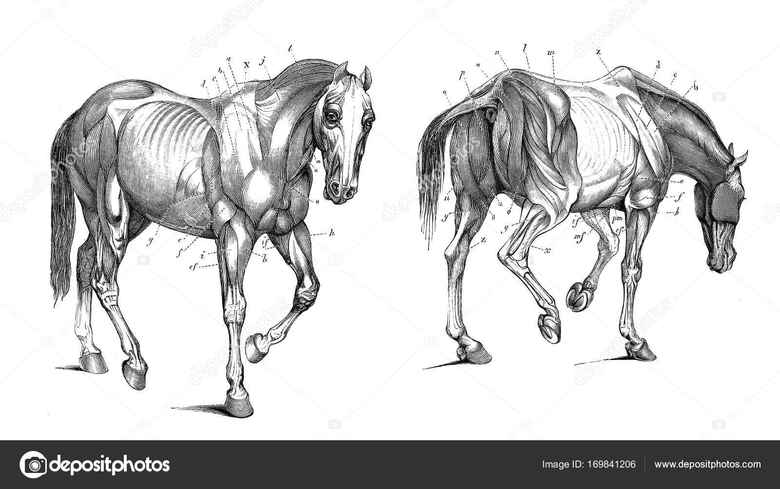 La anatomía del caballo — Foto de stock © ruskpp #169841206