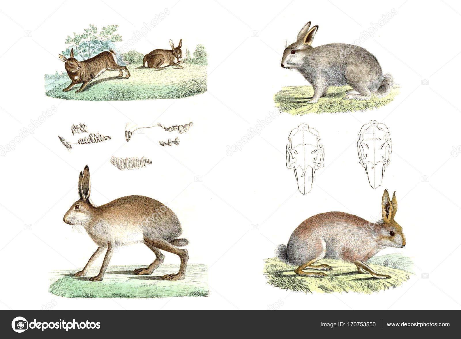 Feld-Kaninchen und Hasen — Stockfoto © ruskpp #170753550