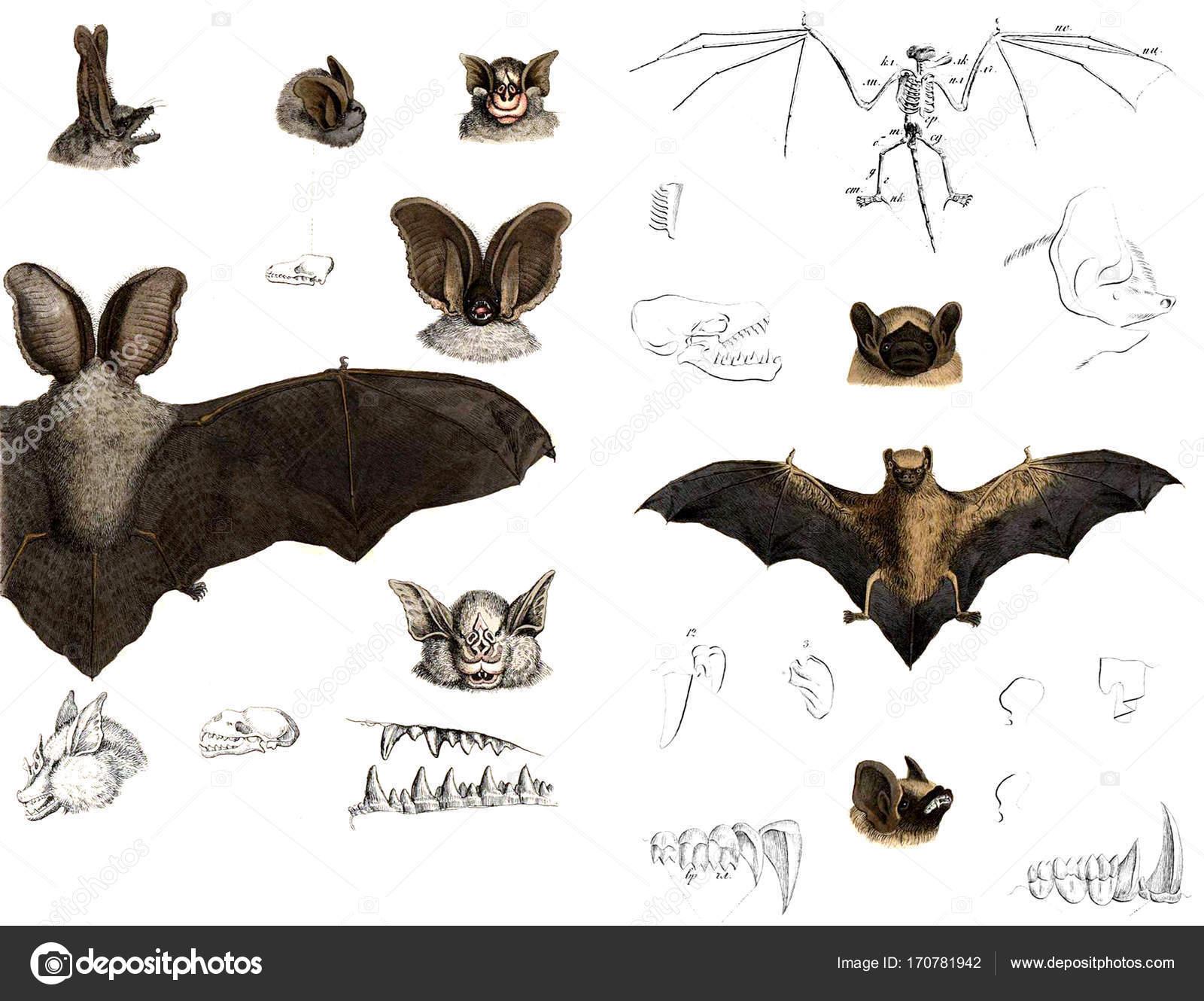 Los tipos y la anatomía de los murciélagos — Foto de stock © ruskpp ...