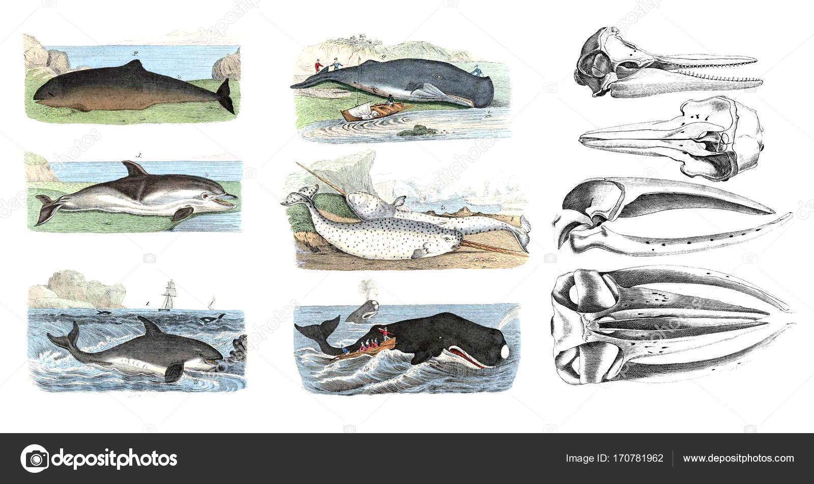 Mamíferos marinos. Ilustraciones a color — Fotos de Stock © ruskpp ...