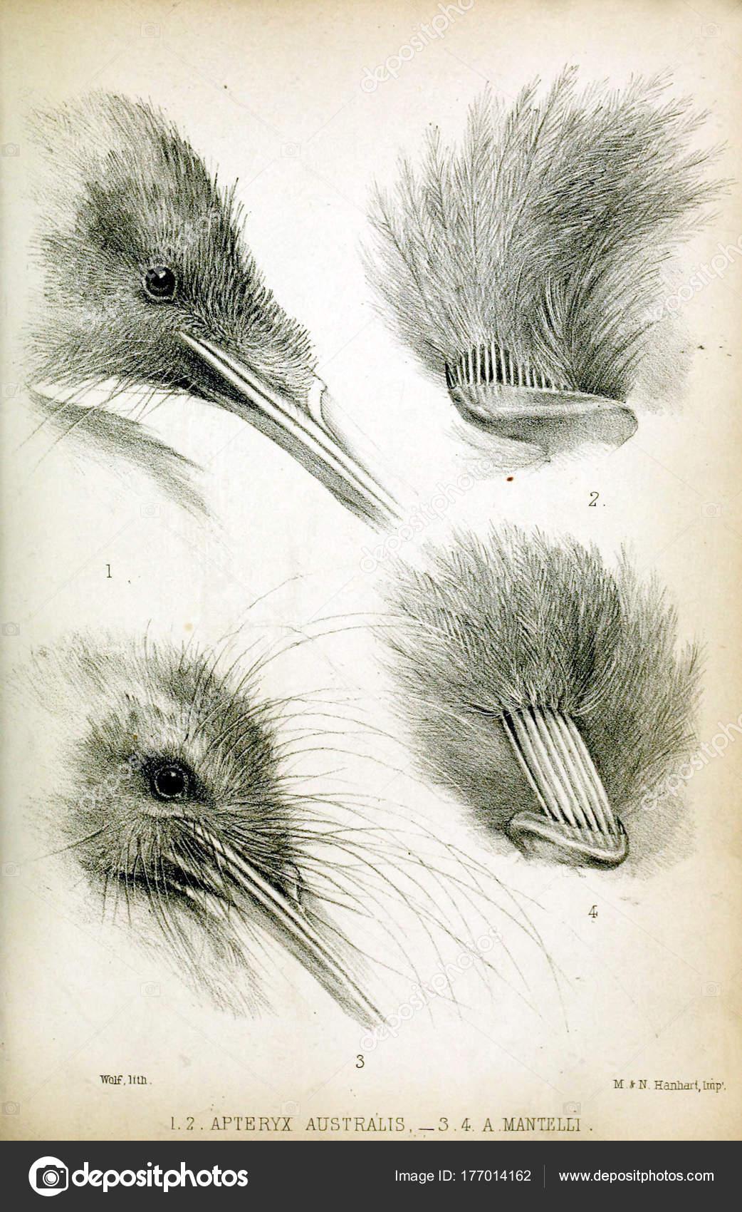 Ilustración Una Cabeza Pájaro Procedimientos Sociedad Zoológica ...