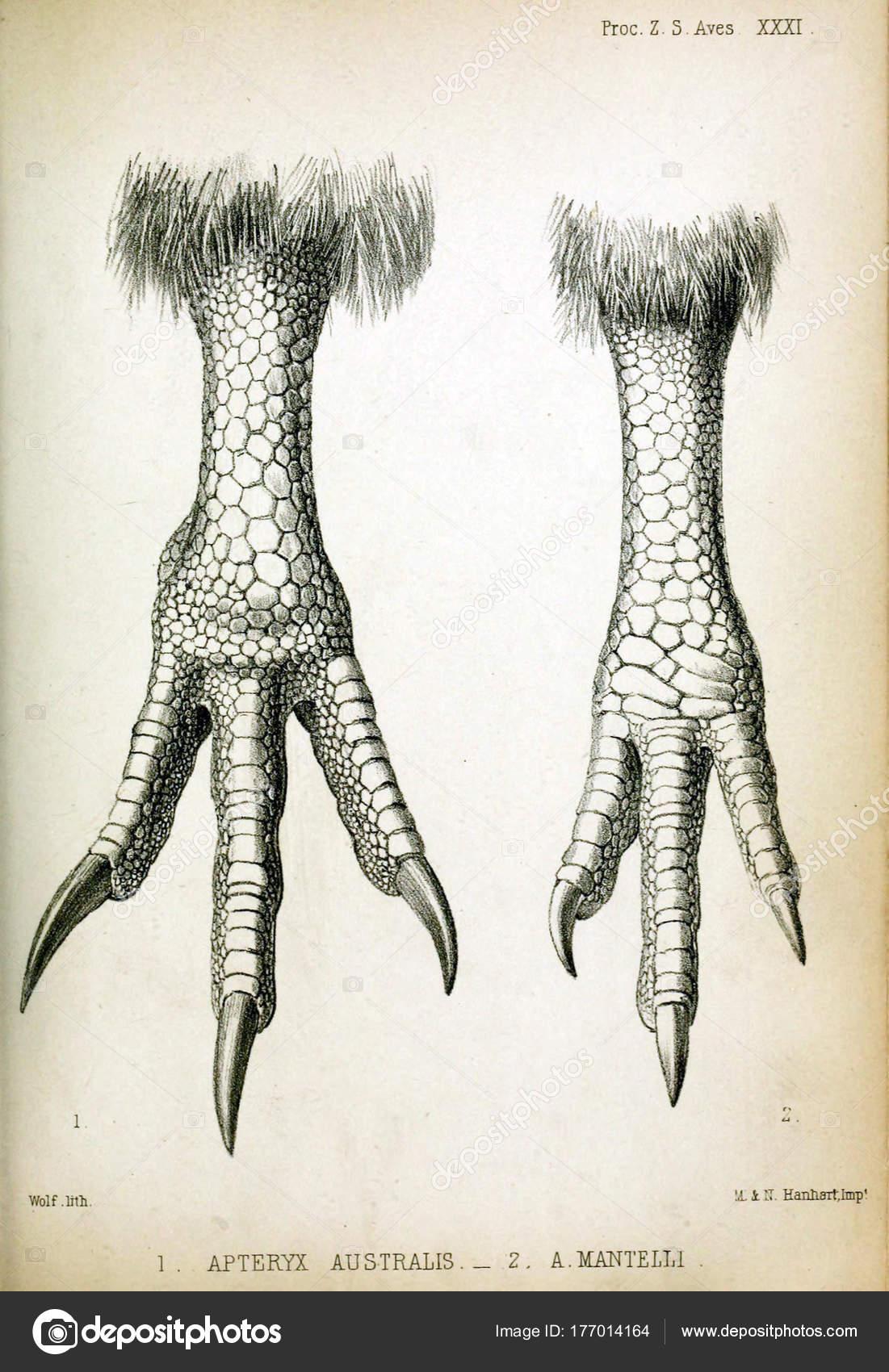 Pata Pájaro Procedimientos Sociedad Zoológica Londres 1850 — Fotos ...