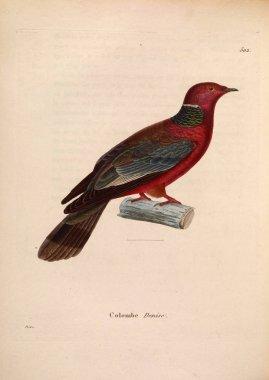 llustration of exotic pigeons. Nouveau recueil de planches coloriees d'oiseaux 1850