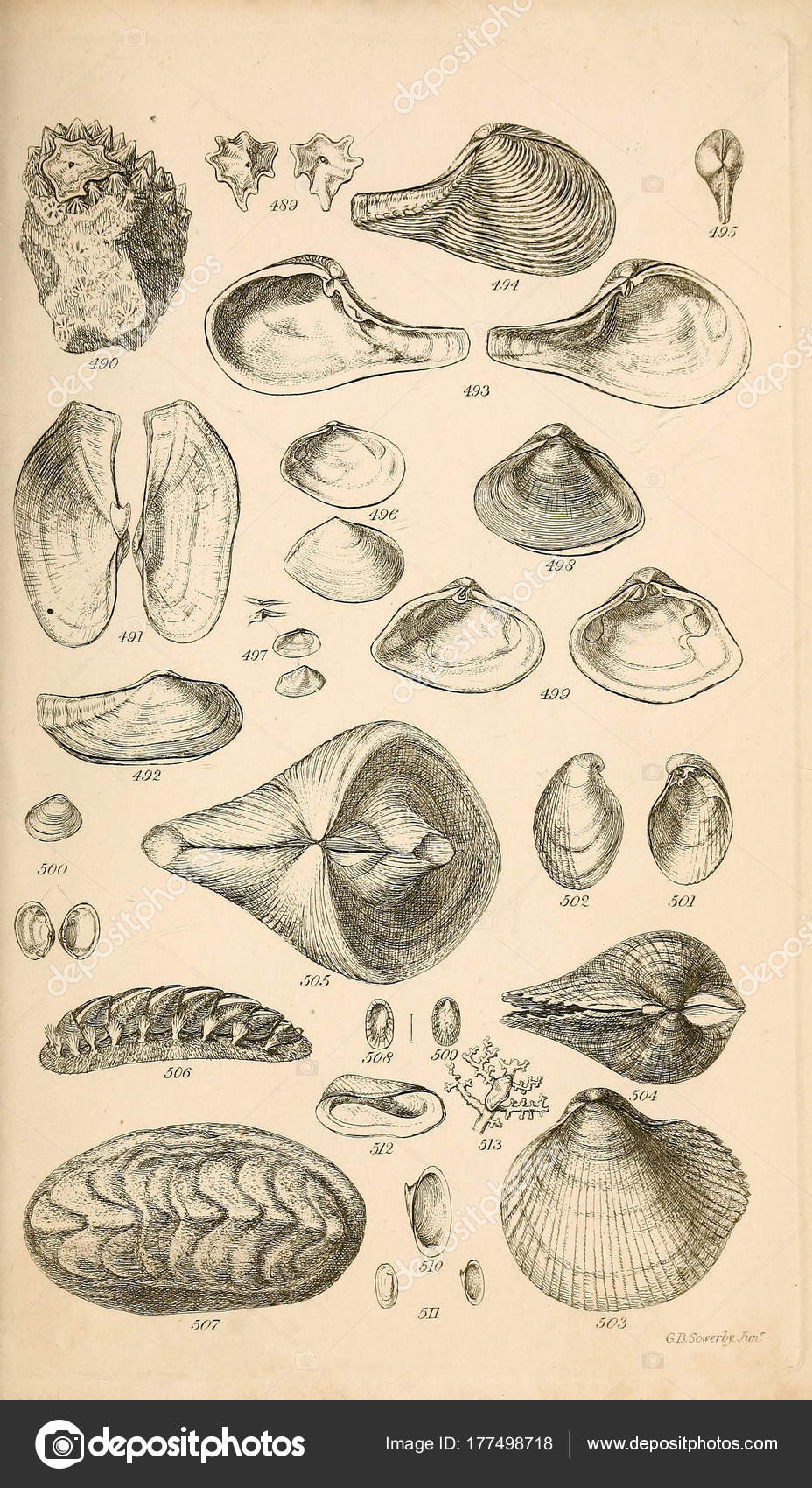 Illustration Shells Conchological Manual Sowerby George