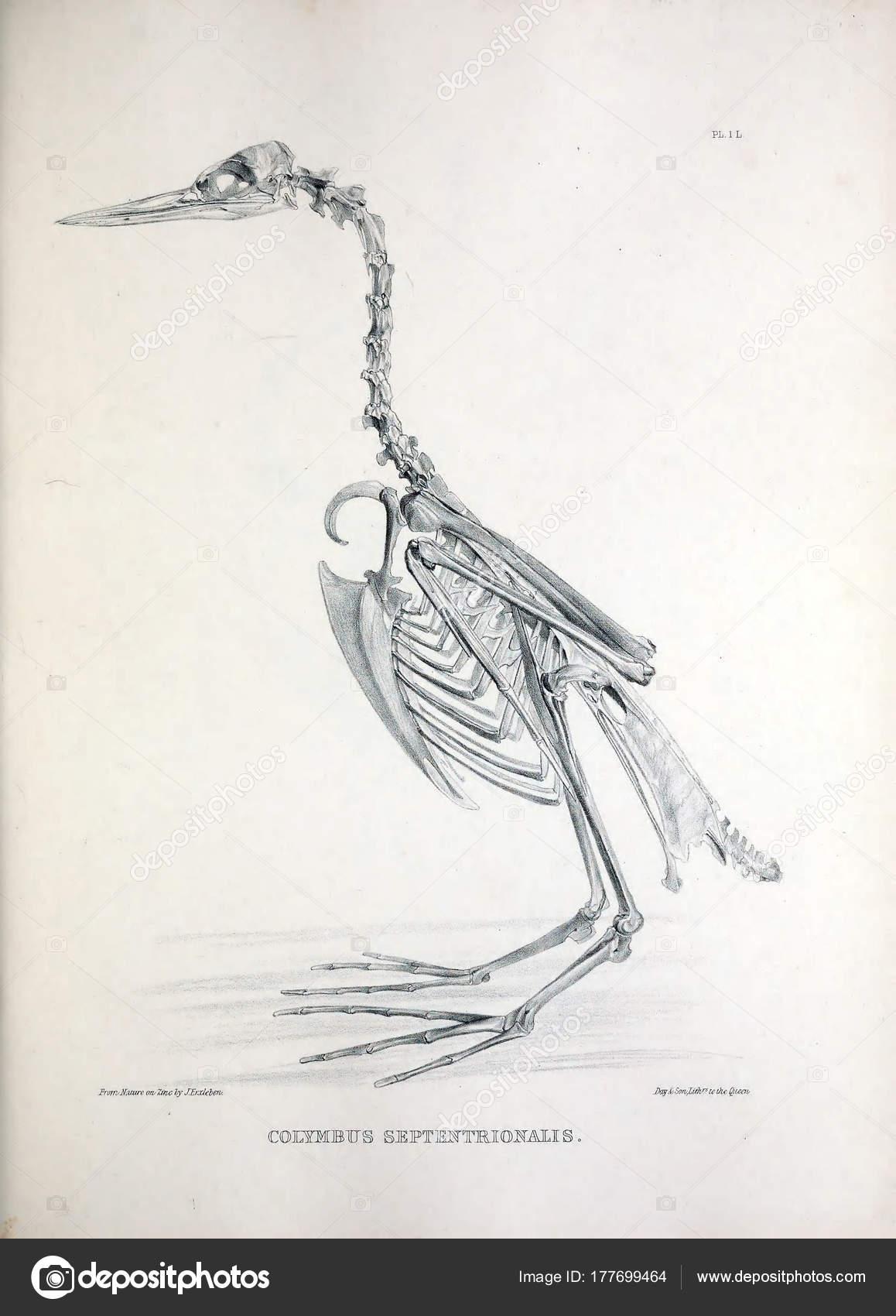 Ungewöhnlich Avian Skelettanatomie Bilder - Menschliche Anatomie ...