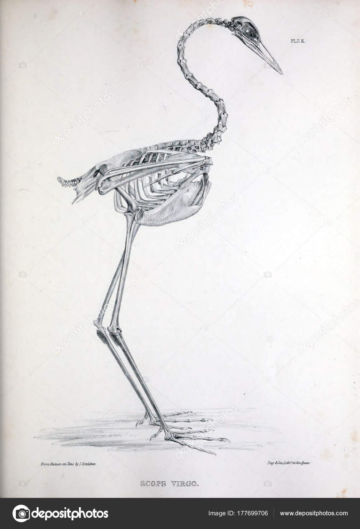 Esqueleto Pájaro Ilustración Osteologia Avium Bosquejo Osteología ...