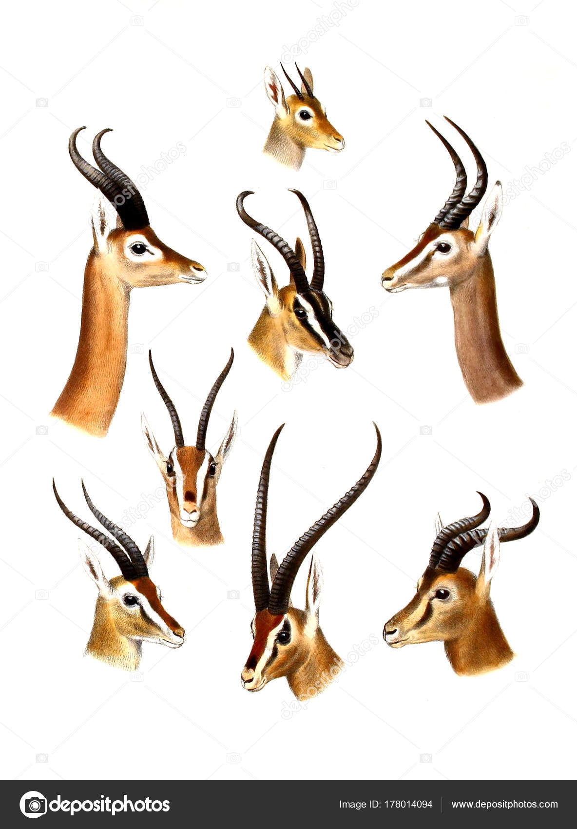 カモシカのイラスト アフリカの偶蹄類の動物のイラスト アフリカの大と小
