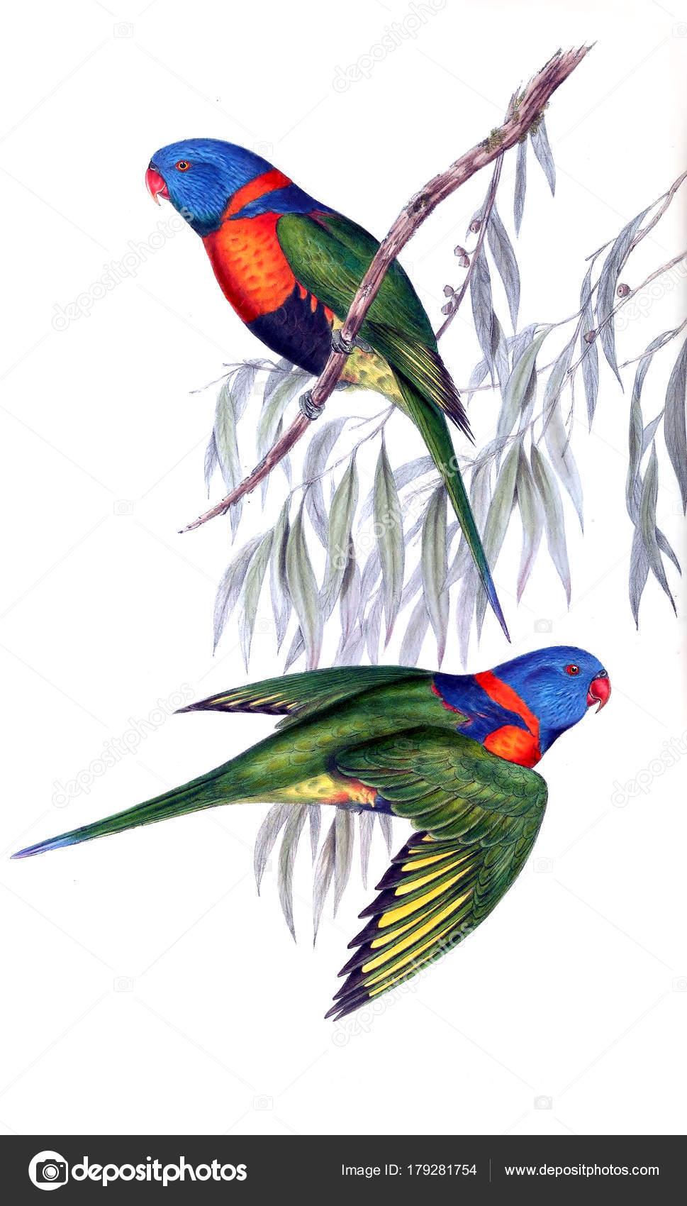 Ilustración Aves Los Pájaros Australia Suplemento 1848 — Fotos de ...