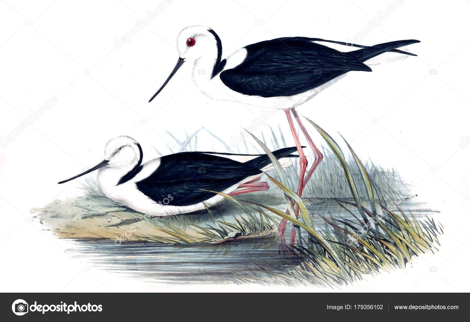 Ilustración Aves Los Pájaros Australia Suplemento 1848 — Foto de ...