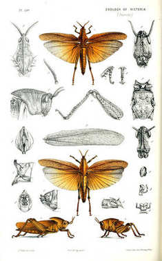 Illustration of the animal. Natural history of Victoria. Prodromus of the zoology of Victoria