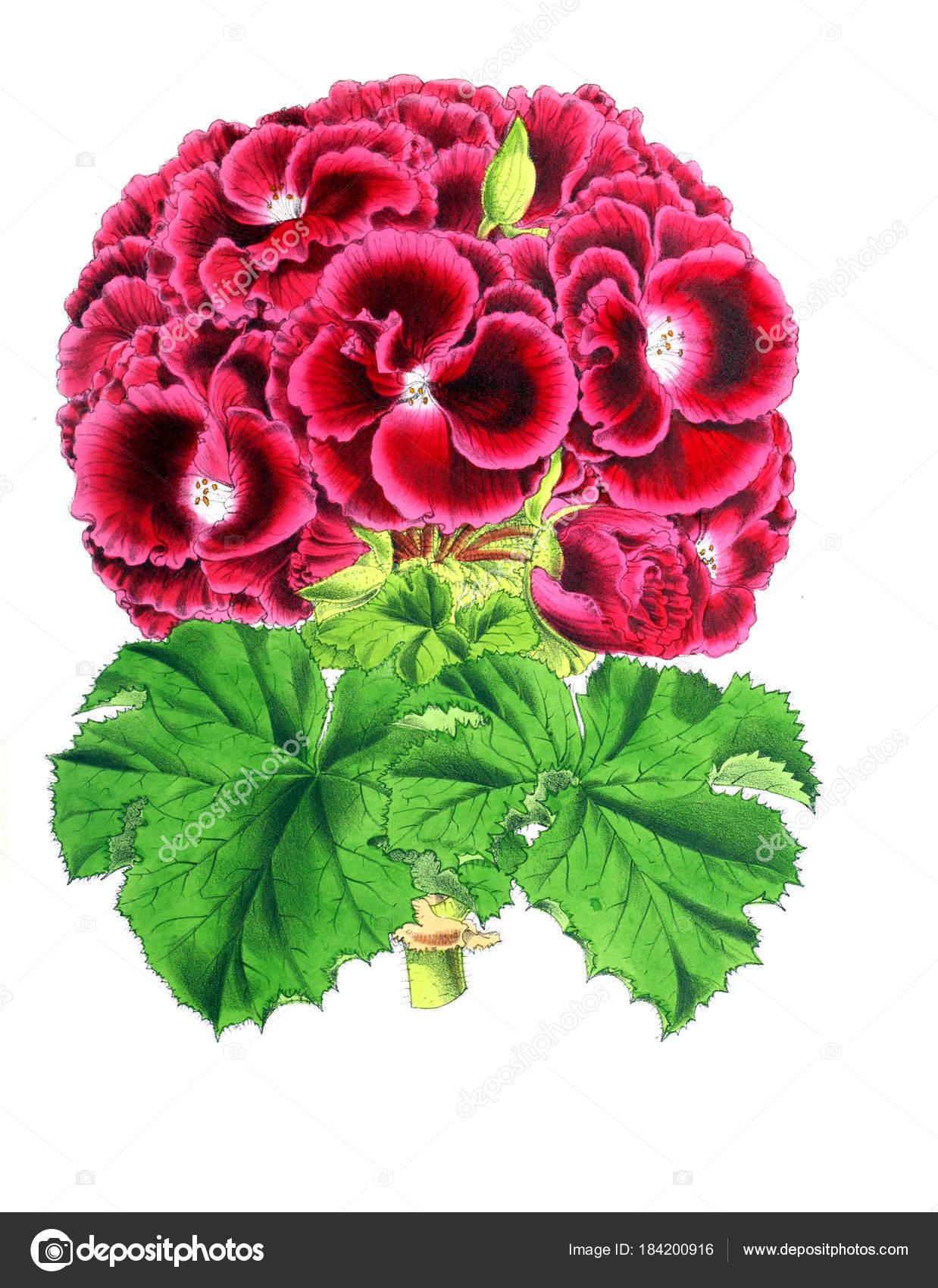 Dibujo Una Flor Revista Floral Compuesto Por Figuras Descripciones