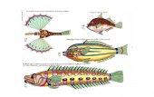 Illustration of a fish. Poissons, ecrevisses et crabes, de diverses couleurs et figures extraordinaires