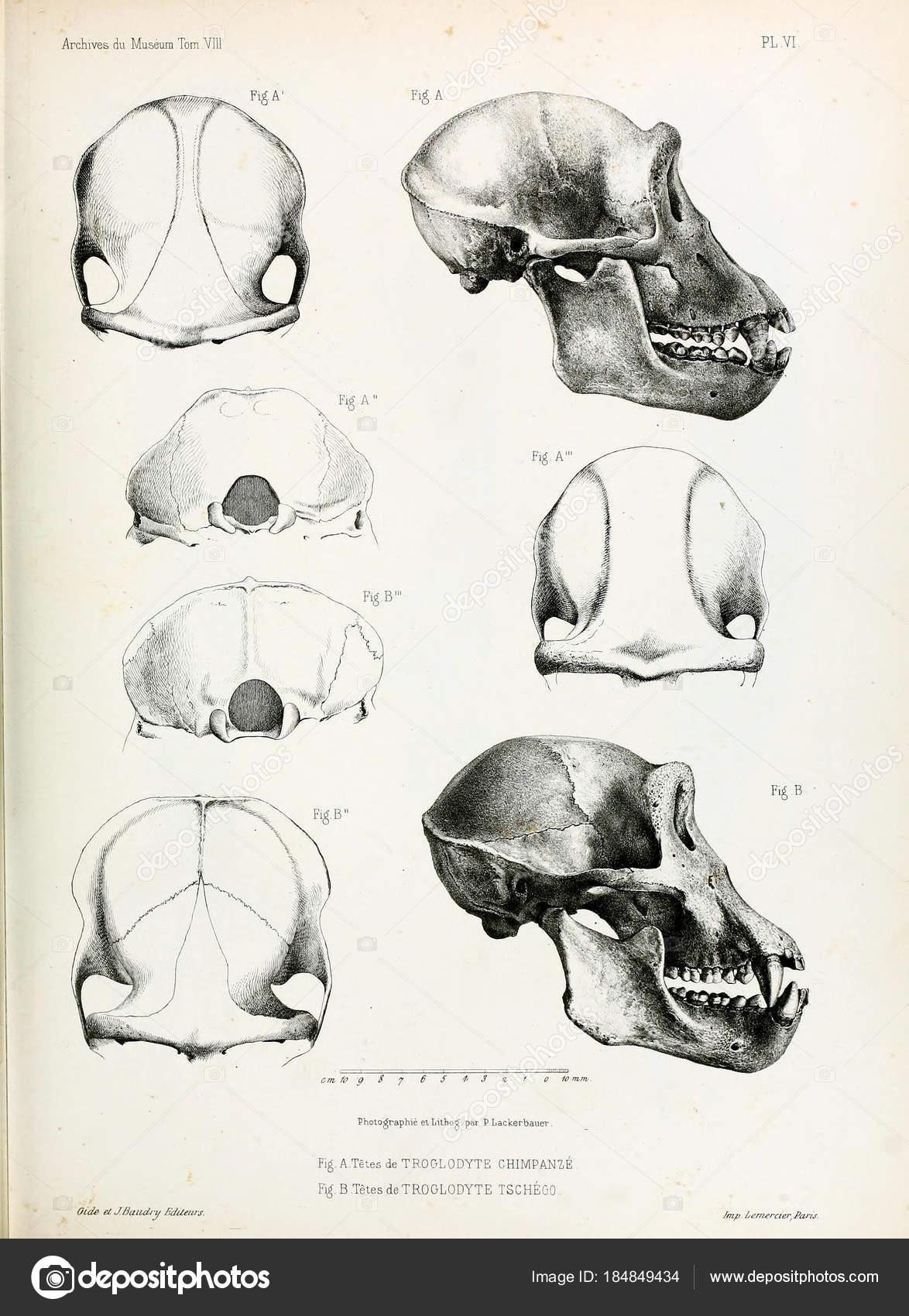Anatomy Ape Archives Musum Histoire Naturelle Paris — Stock Photo ...
