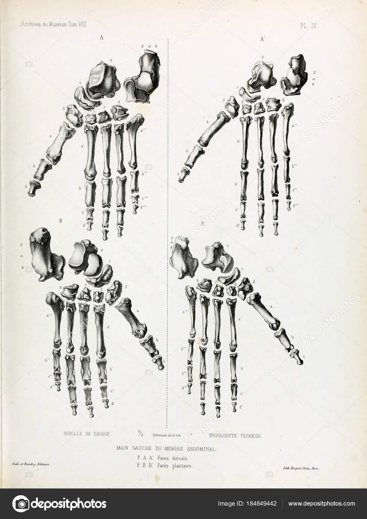 Fein Anatomie Des Affen Bilder - Menschliche Anatomie Bilder ...