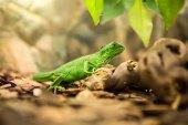 Leguán zelený v přírodě