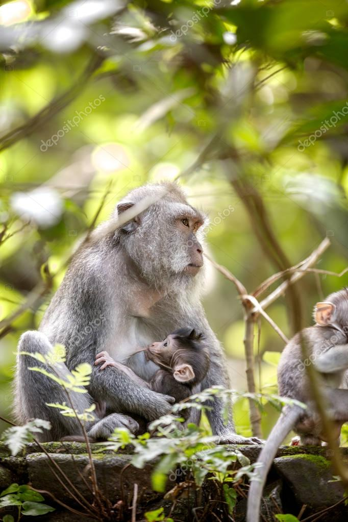 female long tailed monkey with her infant at breast