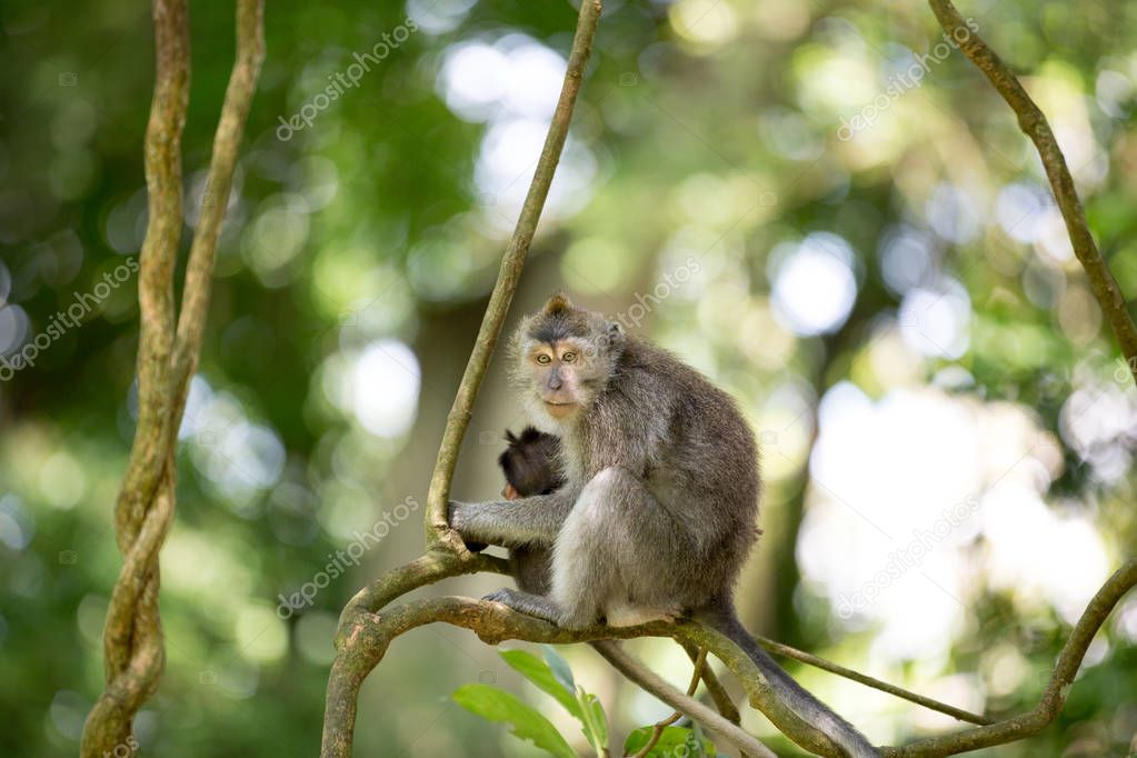 Female Long Tailed Macaque with holding her tiny baby