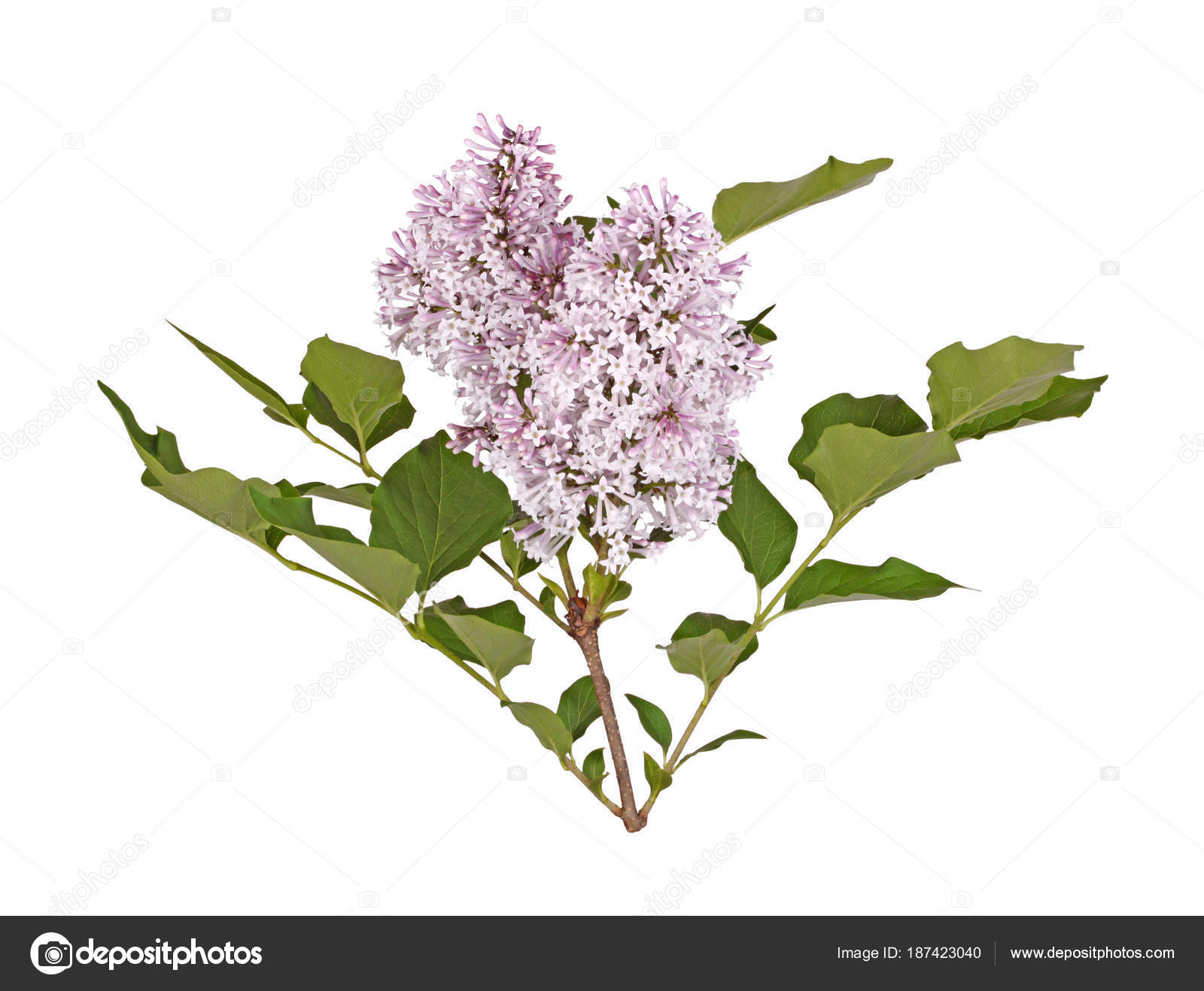 Stem With Light Purple Lilac Flowers Isolated Against White Stock