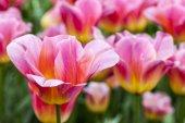 Fotografie Detail krásný růžový Tulipán v oblasti tulipány