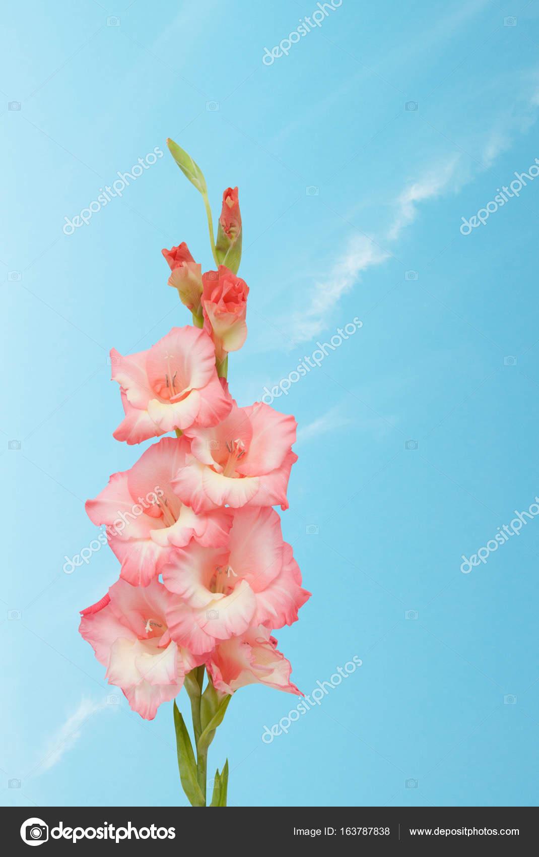 Flor Hermosa Con Movimiento Flor Hermosa Del Gladiolo Foto De