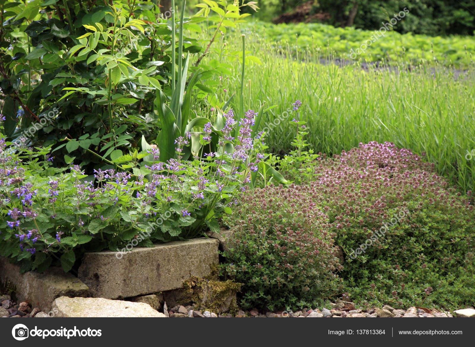 Krauter Im Garten Catmints Rose Lavendel Und Wilder Thymian
