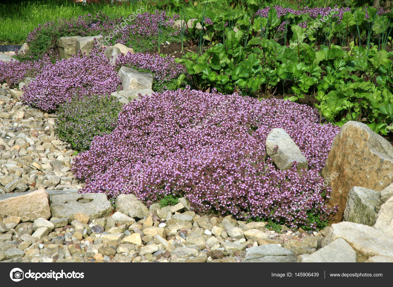 Breckland Thymian Im Garten Stockfoto C Fotokate 145906439