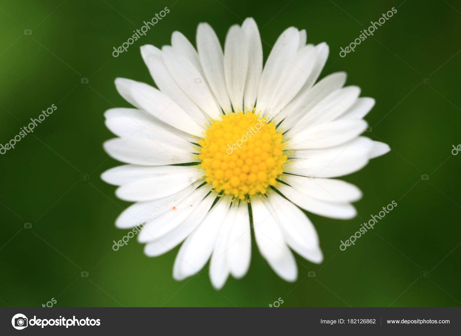 Daisy flower head focus base petals lawn eco home garden stock daisy flower head with focus on the base of the petals lawn in eco home garden photo by fotokate izmirmasajfo