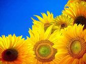 Kvetoucí slunečnice pole s modrou oblohou