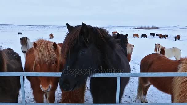 stádo koní klus