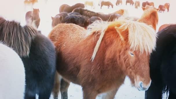 herd of horses trot