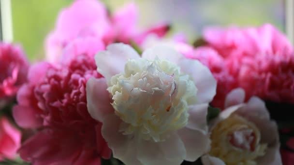 Növény rózsaszín virágszirmok bazsarózsa