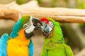 Fotografie barevné ptáci papoušci Ara