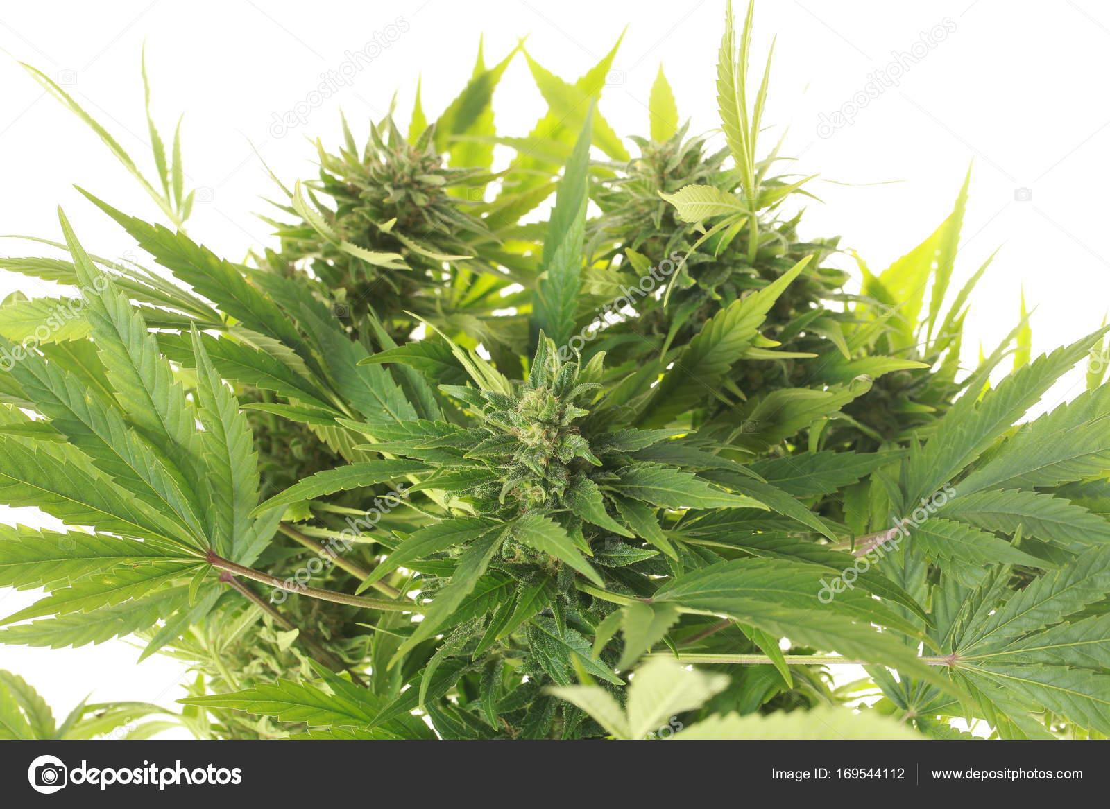 Plante de cannabis et chanvre — Photographie OlegMalyshev © #169544112