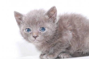 little gray kitten is scared frightened
