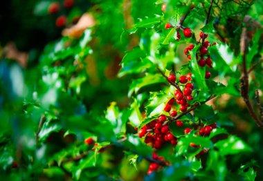 red holly branch