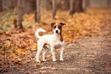 Young Jack Russell Terrier