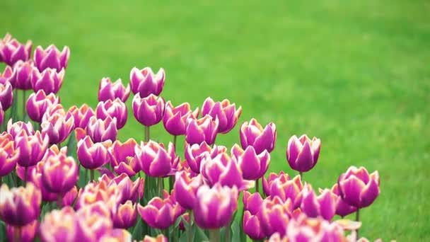 Group of tulips on green meadow in springtime season.