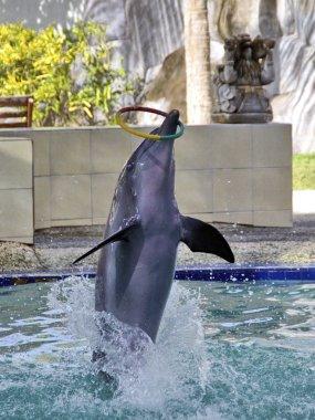 Dolphin show on Bali island
