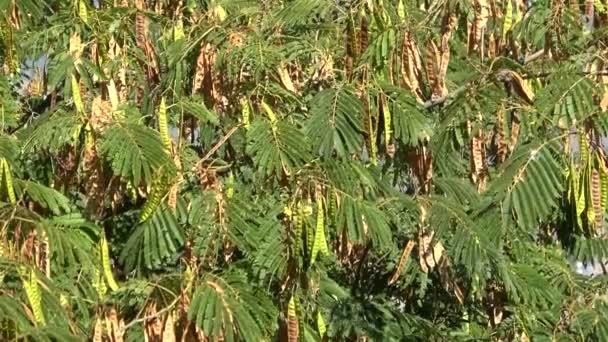 Zralé lusky acacia closeup. Slunečného zářijového dne. Itálie