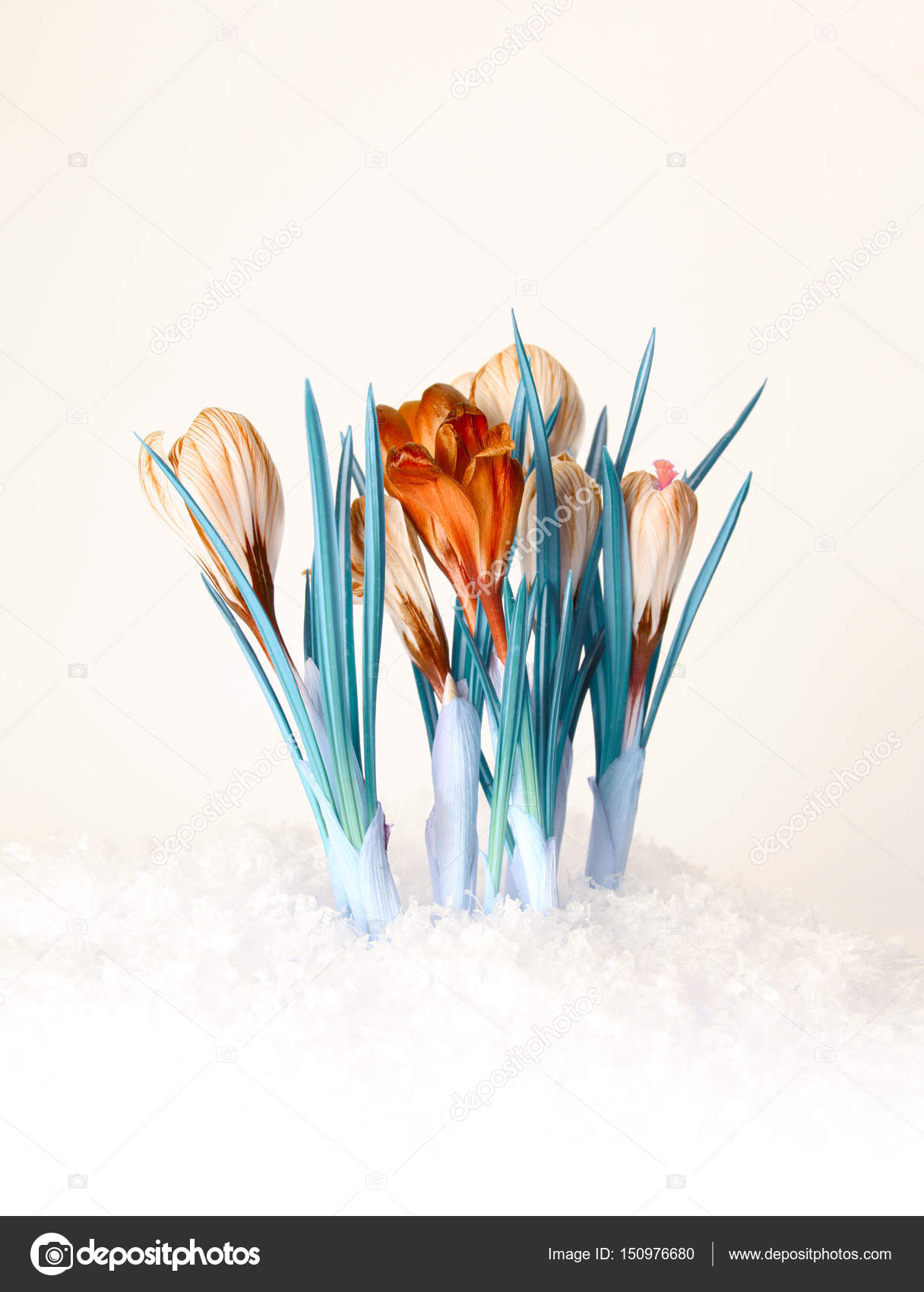 spring color crocus flower bouquet — Stock Photo © Tihon6 #150976680