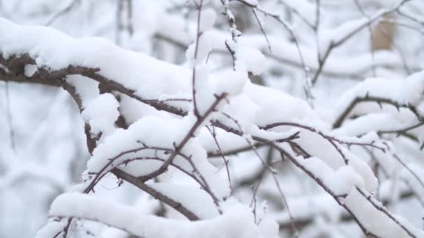 Branches under the snow. Snowfall