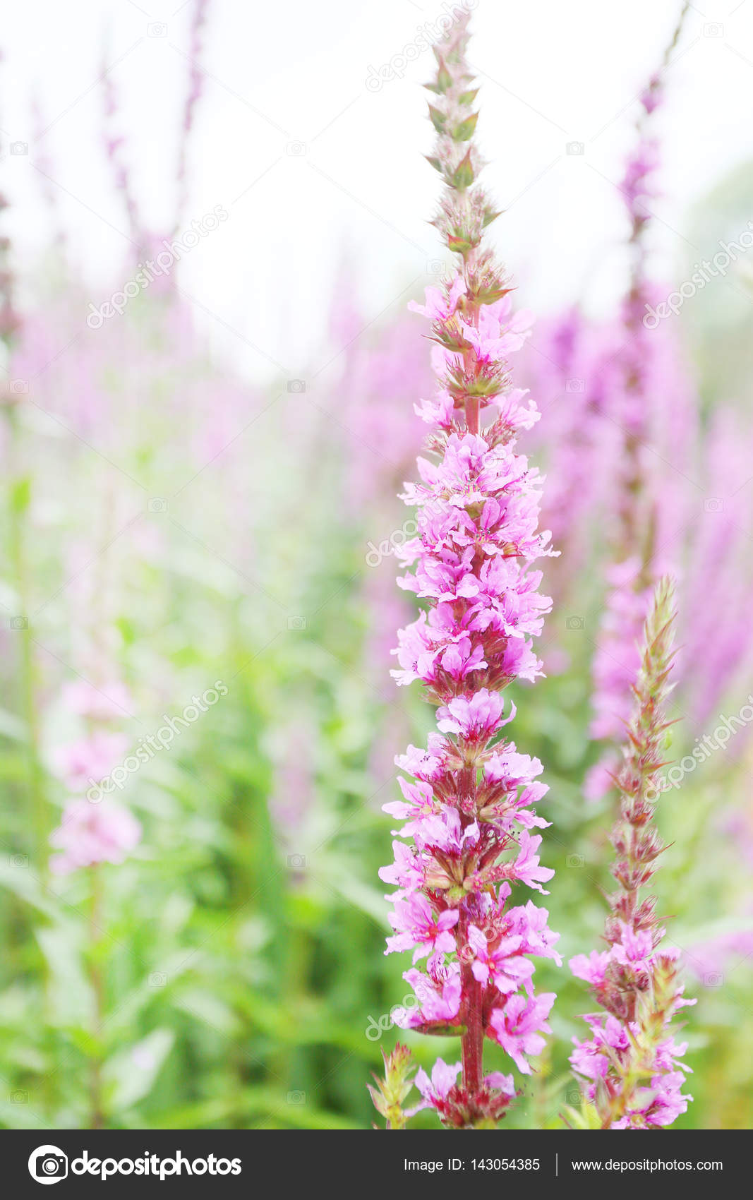 Tall pink flower with many buds similar to foxglove stock photo tall pink flower with many buds similar to foxglove stock photo mightylinksfo