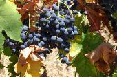 Parta closeup z červených hroznů na víno