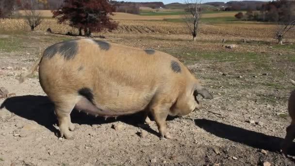 Farm hog pig on a dairy farm
