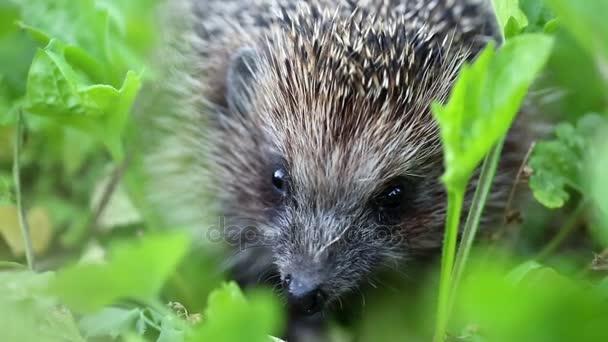 Hedgehog in green grass