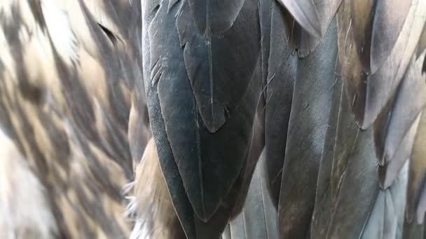 Seeadler-Federn
