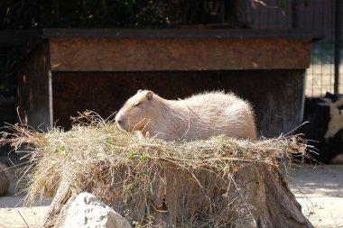 Capybara - Kapibara, rodent